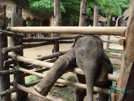 THAI ELEPHANT CONSERVATION CENTER, Lampang-Lamphun (less touristic area)